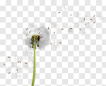 Сlipart Dandelion Wind Pollen Seed Wishing photo cut out BillionPhotos