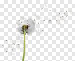 Сlipart Dandelion Wind Pollen Seed Wishing photo cut out BillionPhotos