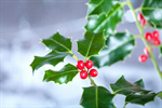 Сlipart Christmas Holly Holiday Christmas Decoration Berry photo  BillionPhotos