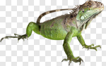 Сlipart Iguana Lizard Reptile Animal Large photo cut out BillionPhotos