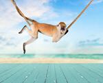 Сlipart Monkey Animal Orangutan Ape Hanging   BillionPhotos