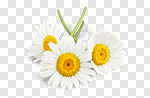 Сlipart Daisy Chamomile Flower Chamomile Plant White photo cut out BillionPhotos