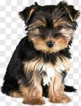 Сlipart Dog Puppy Yorkshire Terrier Pets Cute photo cut out BillionPhotos