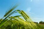 Сlipart Barley Wheat Green Cereal Plant Crop photo  BillionPhotos