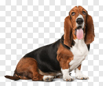 Сlipart Dog Licking Basset Hound Puppy Humor photo cut out BillionPhotos