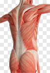 Сlipart Human Muscle Anatomy Muscular Build Back The Human Body 3d cut out BillionPhotos