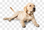 Сlipart labrador yellow lab breed isolated photo cut out BillionPhotos