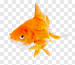 Сlipart Goldfish Fish Water Animal Isolated photo cut out BillionPhotos