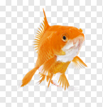 Сlipart Goldfish Fish Underwater Close-up Pets photo cut out BillionPhotos